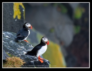 Iceland Puffins