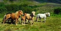 Iceland wild horses by jack graham