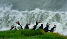 puffins in iceland by jack graham