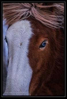 Icelandic horse with blue eyes