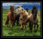 Iceland-horses-JULY2014